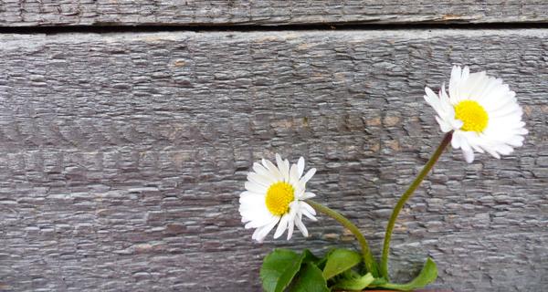 Blume Gänseblümchen