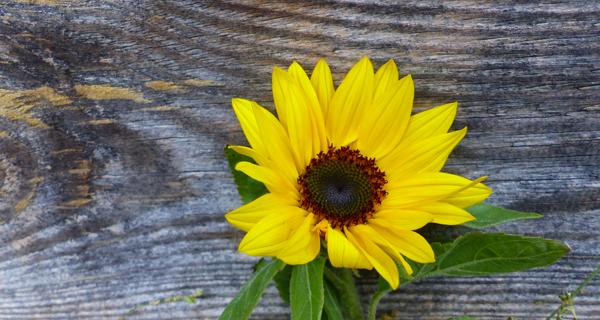 Blume Sonnenblume