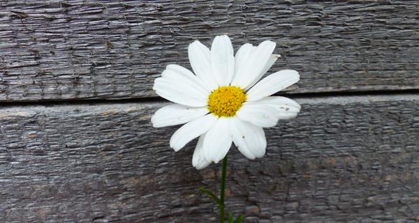 Blume Margerite