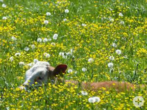 Kalb-auf-der-Weide