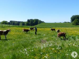 Kuehe-auf-der-Weide